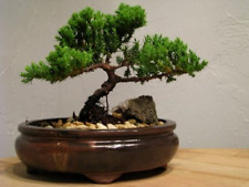 9Greenbox Best Gift Bonsai Juniper Tree, 4 Pound .