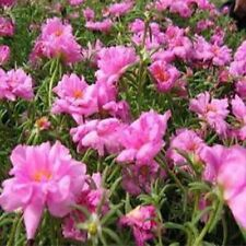 Moss Rose (Portulaca Grandiflora)- Pink - 200 seeds