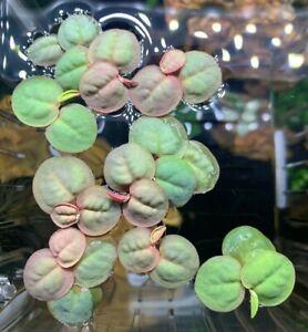 [ 15+ Red Root Floaters + BONUS Plant! ] *B2G1* Live Aquarium Fish Pond Plant
