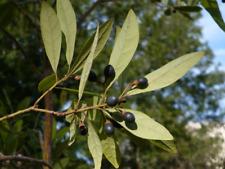 Swamp Bay   Persea palustris   10 Seeds   (Free Shipping)