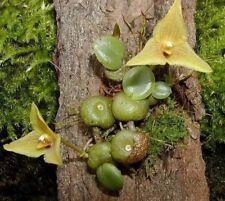 Bulbophyllum (trias) Oblonga