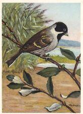 x animals birds antique old postcard bird animal reed bunting