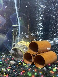 Polar Blue Convict Parrot Cichlid Live Freshwater Aquarium Fish