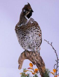 Real Taxidermy Hazel grouse or Hazel hen goose