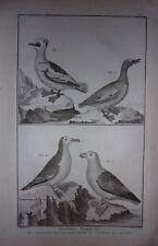 GRAVURE ORIGINALE CUIVRE MARTINET 1768 PIETTE MALE CANARD SIFFLEUR PETREL PUFFIN