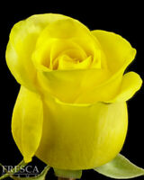 Fresh Cut Yellow Roses 100 stems / Grower Direct / Quality Guaranteed