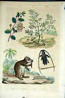 Old Antique Print 1839 H/C Natural History *073 Botanical Beetle & Rodent 19th