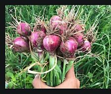 *Uncle Chan* 5 bulb Red Shallot vegetable herb for plant my garden