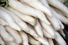 radish, Japanese Minowase white, Giant 2 Feet Long! daikan 160 seeds GroCo