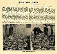 Prof. Udo Dammer non parametrica Rose Rose perfezionamento testo - & 6 documenti immagine v.1907