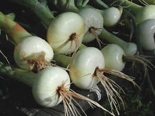 150 CRYSTAL WHITE WAX ONION SEEDS 2018 (all non-gmo heirloom vegetable seeds!)