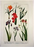 Iris Family - Original 1902 Dated Stone Chromolithograph by J. Bien