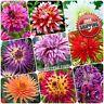 20pcs Multi colour Dahlia Seeds Bushy Tuberous Herbaceous perennial flower