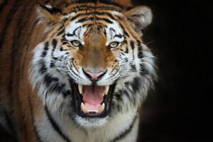Siberian Tiger Up Close Photo Art Print Poster 18x12 inch