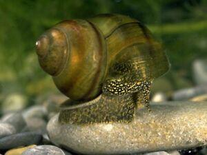 10+2 free trapdoor pond snails (ALGAE EATERS)