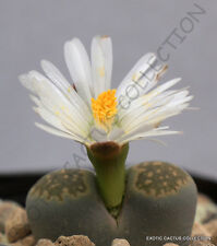 RARE LITHOPS SALICOLA @ exotic mesemb succulent living stone plant seed 15 SEEDS