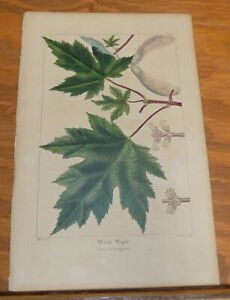 early 1800s Antique LEAF Print///WHITE MAPLE
