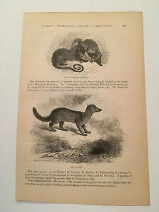 KP2) Civet Cat Euplere Fierce Semi-Weasel Animal Kingdom 1894 Engraving