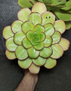Aeonium urbicum rare