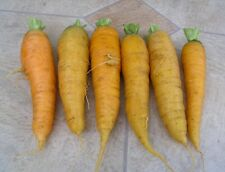 Zitronengelbe Möhre - Solar Yellow Karotte - 30+ Samen