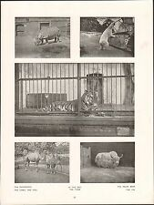 London  Zoo Rhinoceros Camel Foal Tiger Polar Bear Yak ENGLAND UK PLANCHE 1910