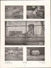 London  Zoo Rhinoceros Camel Foal Tiger Polar Bear Yak ENGLAND UK PLANCHE 1910