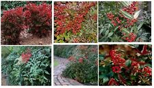 Nandina Wild Berry Bush Over 25 Seeds
