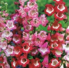 PENSTEMON HARTWEGII SENSATION MIX 40 FRESH FLOWER SEEDS FREE USA SHIPPING