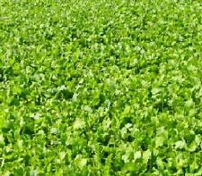 5 Pounds Buckbuster Forage Rape Food Plot Seeds for Deer and Other Wildlife
