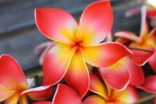 5 Rare Orange Yellow Plumeria Seeds Plants Flower Lei Hawaiian Garden Fragrant