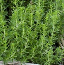 WINTER SAVORY Satujera montana aromatic culinary herb plant in 100mm pot