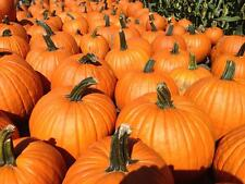 Connecticut Field 25 Heirloom Organic Non-Gmo Pumpkin Seeds (Usa Seller)