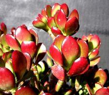 RARE RED AKAI Jade Succulent Crassula Ovata Plant 1 Cutting