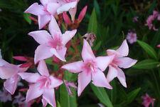 Oleander Pflanze VILLA ROMAINE 50-60cm 3l Topf  sehr frosthart, rosa