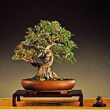 Pistacia lentiscus tree bonsai seeds - 20 Seeds