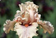 2 Rhizone Of Center Line Tall Bearded Iris