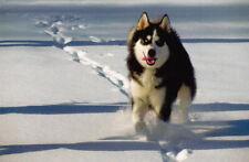 Polarhund * Schlittenhund * Husky * Malamute * DOG * Postkarte  Postcard  # 31