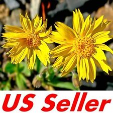Arnica Seeds 50+ SEEDS G66 Mountain Tobacco Arnica Montana Leopard's Bane