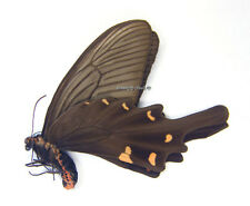 Unmounted Butterfly/Papilionidae - Atrophaneura alcinous ssp., male, Japan, A-
