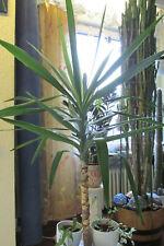Yucca gigantea Yucca-Palme Palmlilie großer Setzling pflegeleicht Stehpflanze