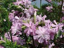 winterharte Garten Pflanzen Samen exotische Zierpflanze selten SEIFENBLUME