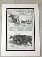 1853 Print Smithfield Show Cattle Show Prize Bull Cow Farming Antique