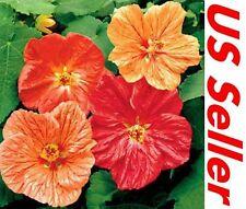 50 Seeds, Mixed Color Abutilon Seeds G55, Abutilon Bellvu Garden Flowers Seeds