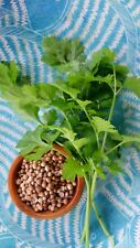 CORIANDER 250 seeds herb garden EASY GROW coriander culinary cilantro vegetable