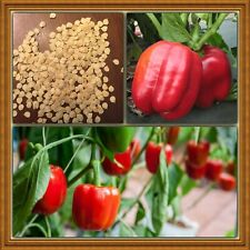 Big Red Sweet Pepper Bells Organic 30+ Qty Seeds from California Free Ship