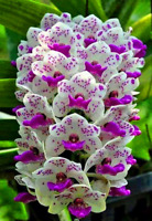 100 Pcs Seeds Cymbidium Orchid Flowers Bonsai Flower Plants Potted Garden NEW V