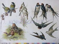 alte LITHOGRAPHIE um 1900 Hector Giacomelli VÖGEL Singvogel Schwalbe Schwalben