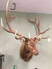 taxidermy elk shoulder mount
