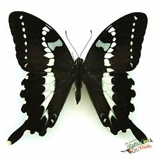 black lemon butterfly Papilio delalandei SET x1 TS A1- M display papilionidae