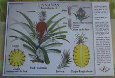 Création Affiche scolaire Set de Table Rossignol l'Ananas Broméliacées Format A3